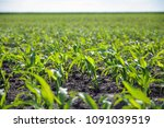 corn sprouts growing on the... | Shutterstock . vector #1091039519