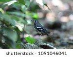 ashy thrush  geokichla cinerea  ... | Shutterstock . vector #1091046041