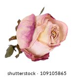 Bud Dried Pink Roses  Isolated...
