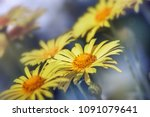 yellow daisy flower background... | Shutterstock . vector #1091079641