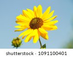 Sunflower With Blue Sky In The...
