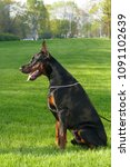 big black doberman male dog... | Shutterstock . vector #1091102639