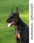 big black doberman male dog... | Shutterstock . vector #1091102645