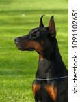 big black doberman female dog... | Shutterstock . vector #1091102651