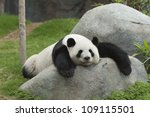 Stock photo giant panda bear sleeping 109115501