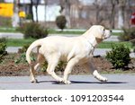 a little yellow labrador puppy... | Shutterstock . vector #1091203544