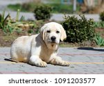 little cute yellow labrador... | Shutterstock . vector #1091203577