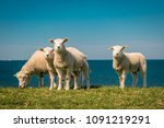Lambs And Sheep On The Dutch...
