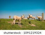 lambs and sheep on the dutch... | Shutterstock . vector #1091219324