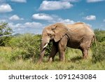 elephant peacefully grazing... | Shutterstock . vector #1091243084