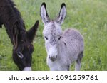 Baby Donkey In The Pasture