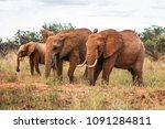 three african bush elephants ... | Shutterstock . vector #1091284811