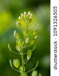 field penny cress  thlaspi... | Shutterstock . vector #1091326505