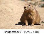 cute little prairie dog in characteristic posture on sandy patch - stock photo