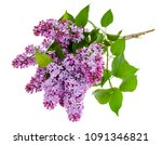 lilac branch isolated on white... | Shutterstock . vector #1091346821