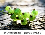gooseberry growing in spring | Shutterstock . vector #1091349659