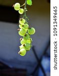 gooseberry growing in spring | Shutterstock . vector #1091349665