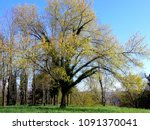 a solitary yellow tree in the... | Shutterstock . vector #1091370041