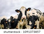 The Herd Of Holstein Black And...