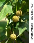 Small photo of Fruits and leaves of sycamore. Vertical format