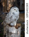 Small photo of The snowy owl (Bubo scandiacus) is a large, white owl of the typical owl family. Snowy owls are native to Arctic regions in North America and Eurasia.