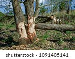 trees felled by beavers. sign... | Shutterstock . vector #1091405141