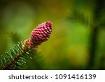 young conifer cone | Shutterstock . vector #1091416139