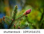 young conifer cone | Shutterstock . vector #1091416151