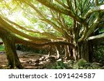 branches and hanging roots of... | Shutterstock . vector #1091424587