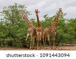 african giraffe family spending ... | Shutterstock . vector #1091443094