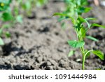 young green seedlings of pepper ... | Shutterstock . vector #1091444984