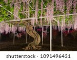 curves are beautiful wisteria... | Shutterstock . vector #1091496431