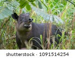 Baird's Tapir In Cloud Forest...