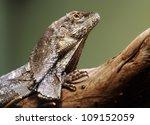 Close-up view of a Frill-necked lizard (Chlamydosaurus kingii) - stock photo