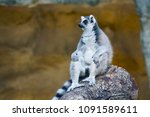 A Sad Lonely Ring Tailed Lemur...