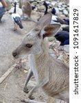 Small photo of PORT DOUGLAS, AUSTRALIA - CIRCA DECEMBER 2014: Kangaroo in a wildlife park
