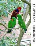 Small photo of PORT DOUGLAS, AUSTRALIA - CIRCA DECEMBER 2014: Eclectus parrots (Eclectus roratus) in an aviary