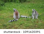Couple Of Lemurs In The Grass
