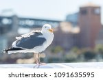 tousled bird seagull with city... | Shutterstock . vector #1091635595