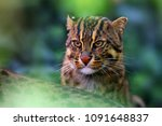 the fishing cat  prionailurus... | Shutterstock . vector #1091648837