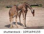 giraffe  giraffa camelopardalis ...   Shutterstock . vector #1091694155
