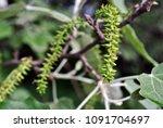 aspen tree blooming twig with... | Shutterstock . vector #1091704697