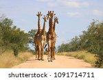 group of giraffes walking down... | Shutterstock . vector #1091714711