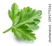 parsley isolated. parsley leaf... | Shutterstock . vector #1091775161