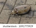 live cuttlefish on the ground...   Shutterstock . vector #1091775929