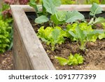 raised bed in a garden with... | Shutterstock . vector #1091777399