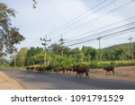 herd of brown cows by the... | Shutterstock . vector #1091791529