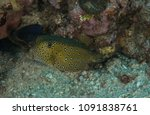 Small photo of Yellow boxfish, Ostracion cubicus