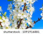 White Oriental Cherry In Spring ...
