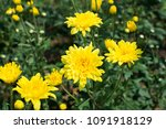 Chrysanthemum Flowers Field In...